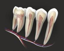unerwiony ząb